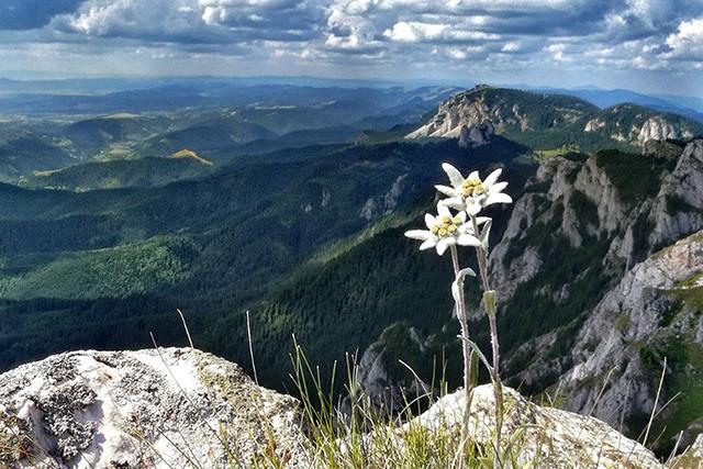 Edelweiss_Swiss-Alps