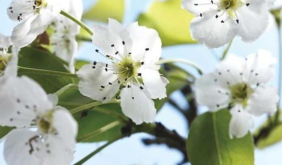 Nashi blossom